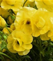 Ranunculus, Butterfly-yellow