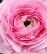 Ranunculus, Elegance-pink