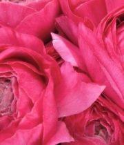 Ranunculus, Elegance-hot Pink