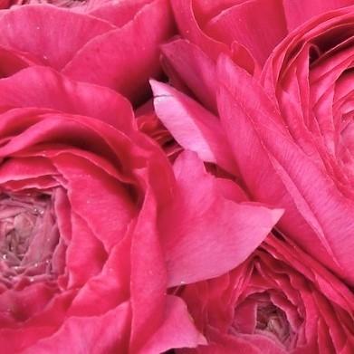 ranunculus import pink