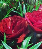 Ranunculus, Butterfly-red