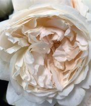 Purity David Austin Garden Rose, SA