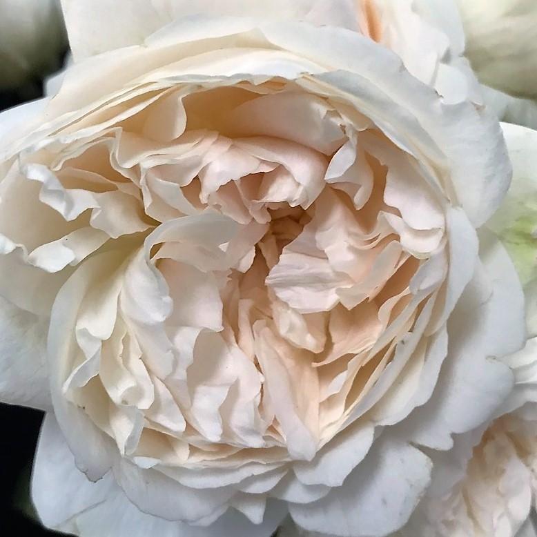 wholesale flowers   garden rose purity