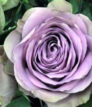 Lavender Tiara Roses