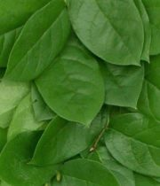Salal Greenery Leaves