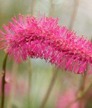 Sanguisorba-pink