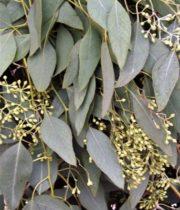 Eucalyptus, Seeded