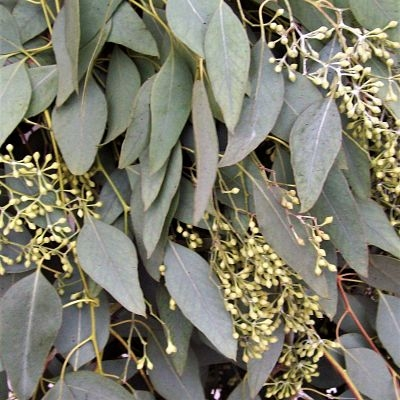seeded eucalyptus wholesale