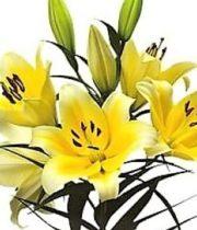 Lily Oriental, Serrano-yellow