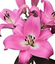 Lily Oriental, Table Dance-pink
