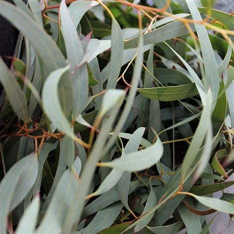 willow eucalyptus wholesale