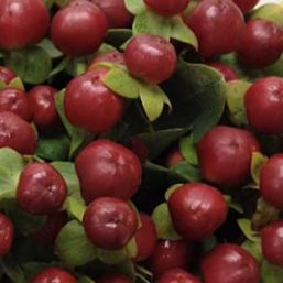 001-berries-red-hypericum-burgundy-2