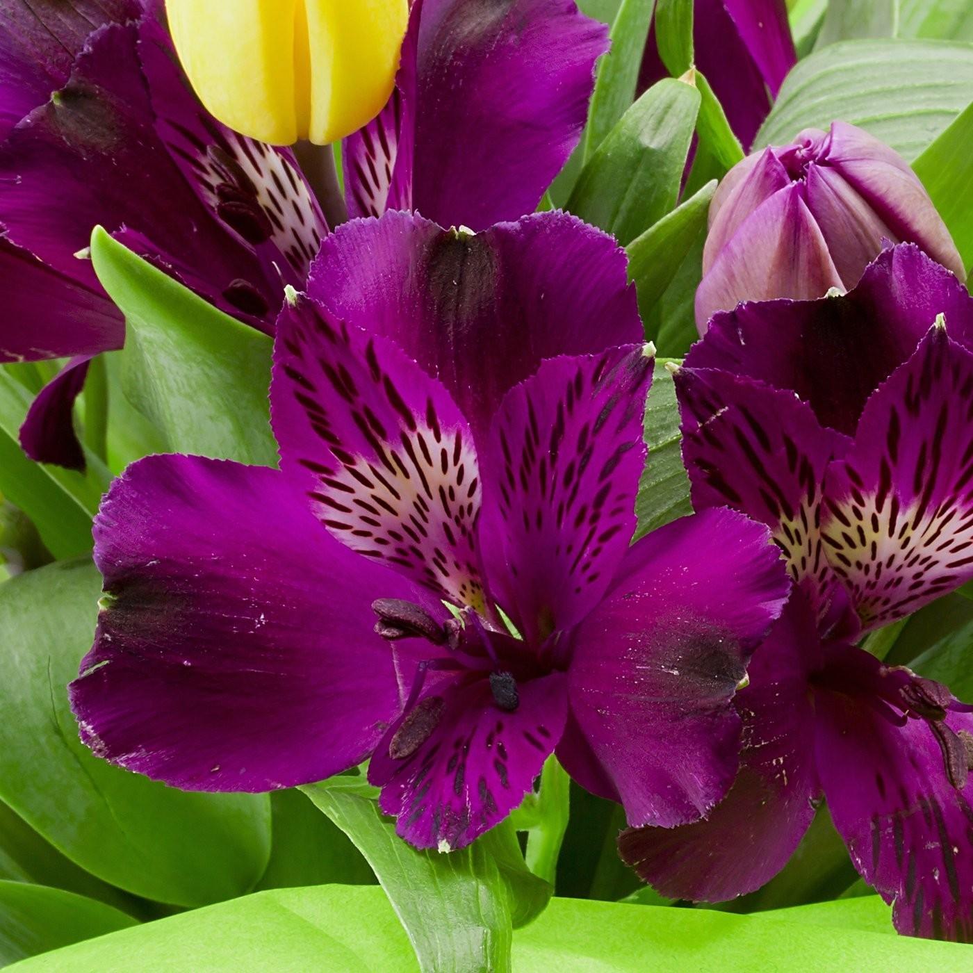 purple-alstroemeria-lily