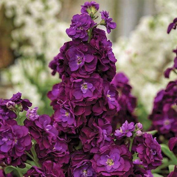 wholesale flowers   stock purple