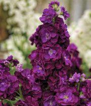 Stock-purple