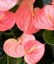 Anthurium, Mini-pink