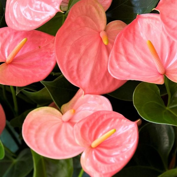 ANTHURIUM-MINI-PINK wholesale flowers