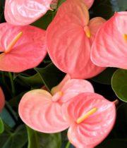 Anthurium, Mini-pink