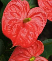 Anthurium, Mini-red