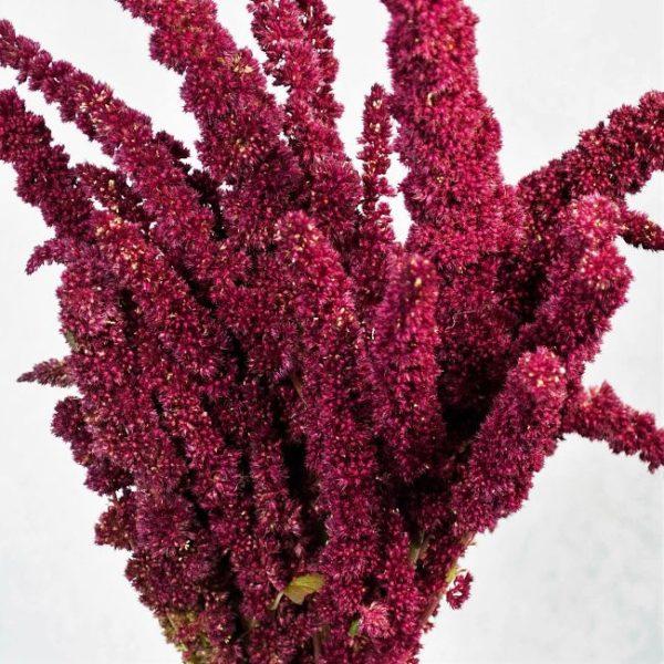 Wholesale amaranthus-red-upright