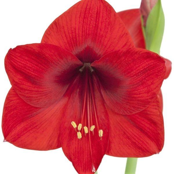 Wholesale amaryllis red