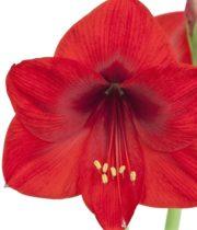 Amaryllis-red