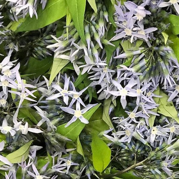 wholesale amsonia blue