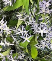Amsonia, Night Sky-light Blue