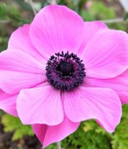 Anemones-pink