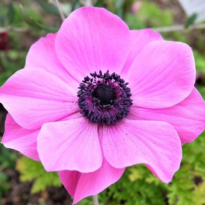 anemone-pink wholesale