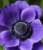Anemones-purple