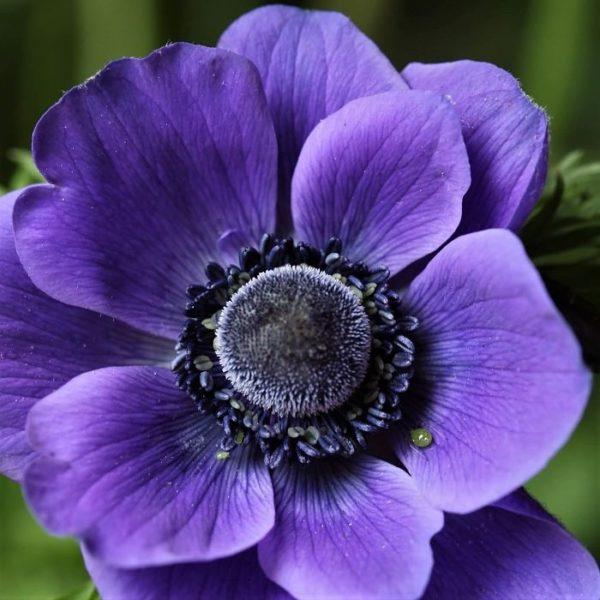 anemone-purple wholesale