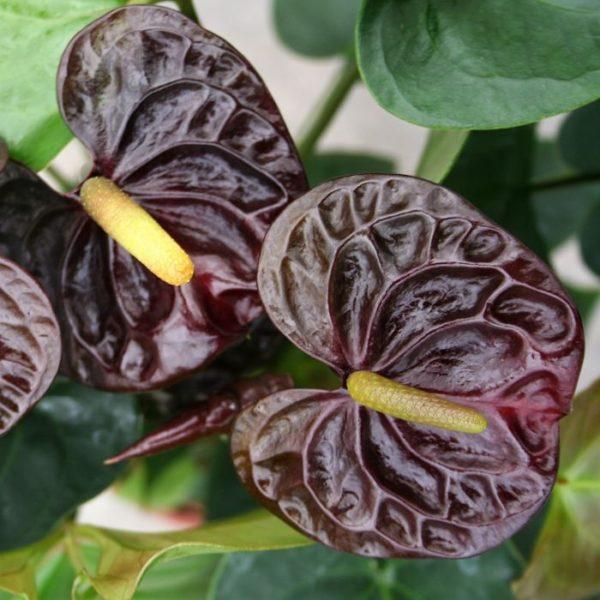 anthurium-black wholesale flowers