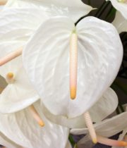Anthurium, Large-white