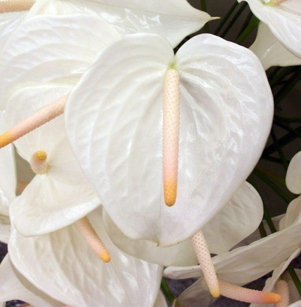 anthurium-white-large wholesale flowers