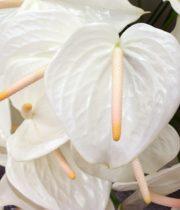 Anthurium, Large-white