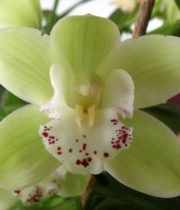 Orchid, Cymbidium, Large-dark Green