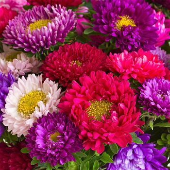wholesale aster assortment
