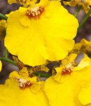 Orchid, Oncidium-yellow