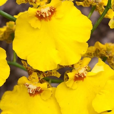 orchid-Oncidium-yellow