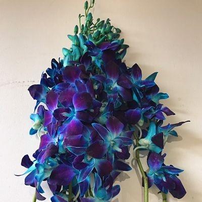 wholesale flowers | orchid- dendrobium blue