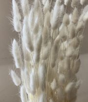 Dried Bunny Tail Grass-bleached