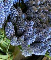 Hyacinth, Muscari-blue