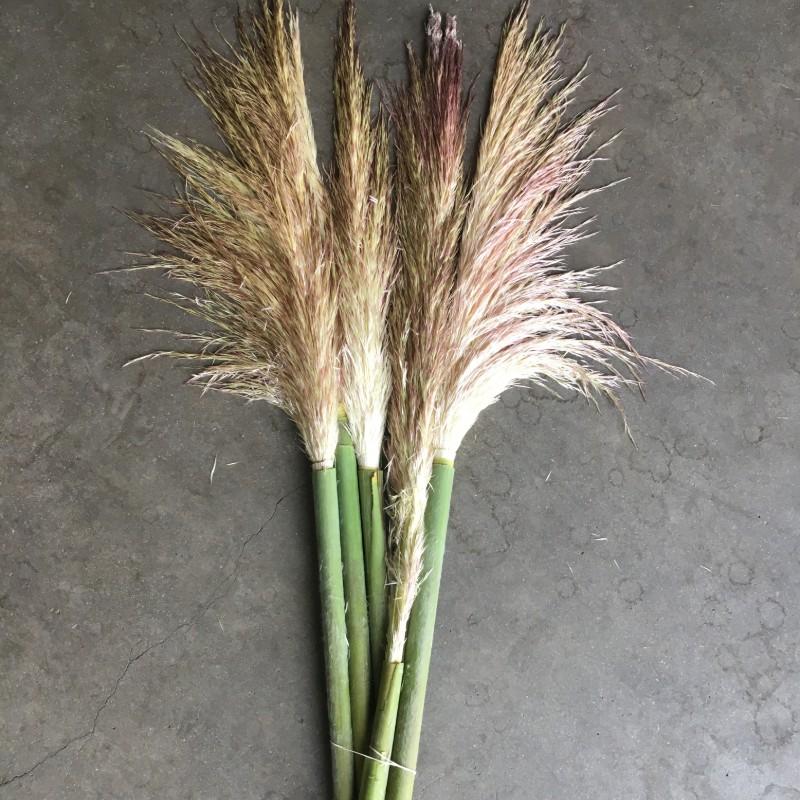 Pampas Grass Fresh