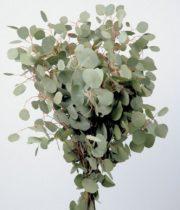 Silver Dollar Eucalyptus (sprayed)
