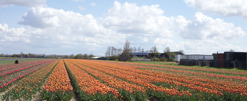 Visit The Tulip Fields In Holland With Florabundance