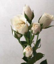 Rose Spray, White Majolika-SA