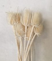 Dried Cardi Palustri-bleached