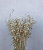 Dried Bleached Briza