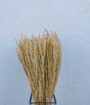 Dried Cipressina-bleached